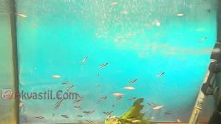Данио розовый и Голубой неон. Аквариумные рыбки. Аквариумистика.