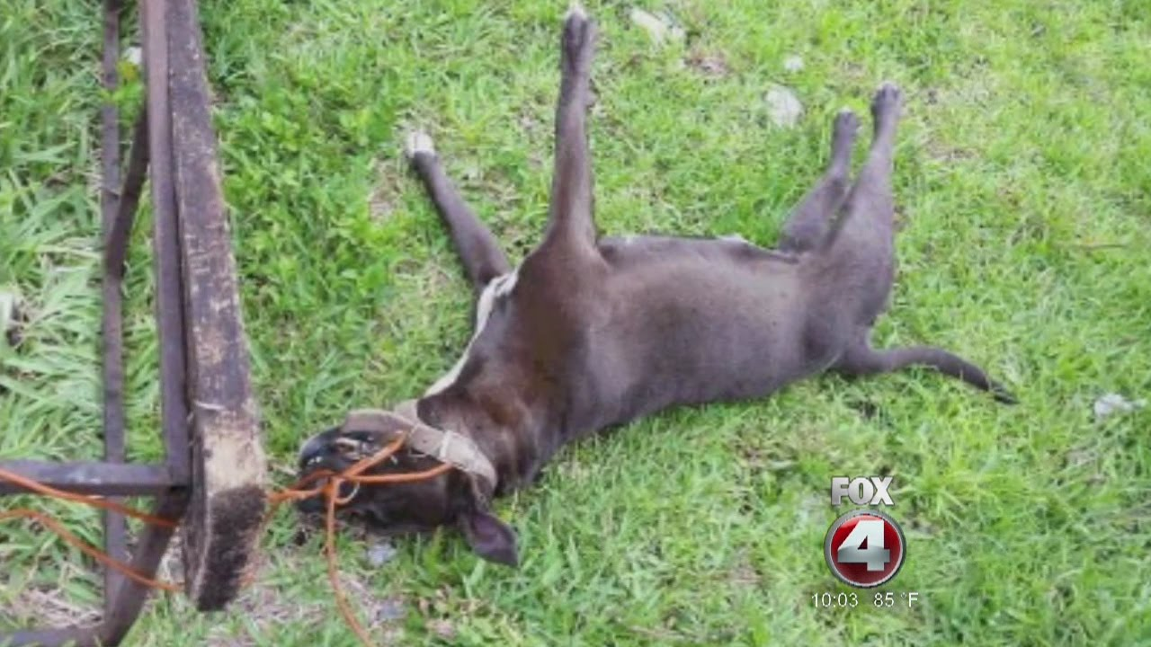 Pit Bull strangled to death, breaks teeth trying to free herself