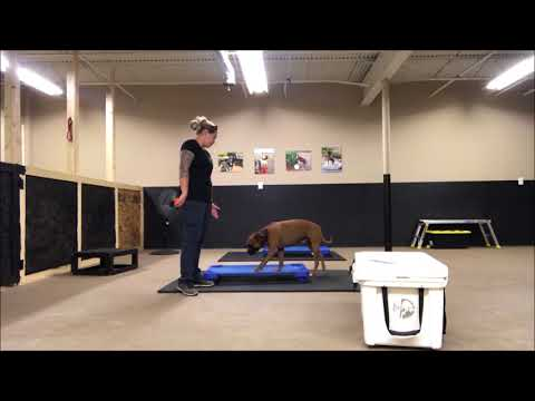 Old dogs can learn new tricks!  Jarvis, 3 year old Boxer, Before and After Video