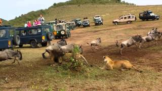 Lion ambush at wildebeest crossing