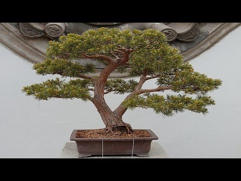 Los mejores bonsais del mundo