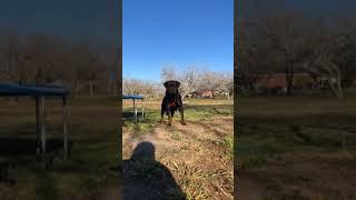 Serbian Rottweiler 2 yr old female