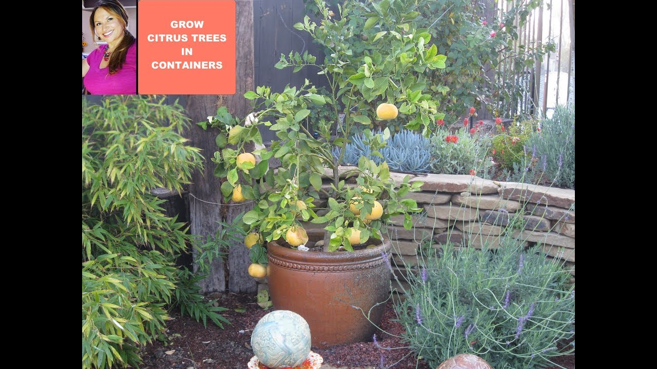 Grow Citrus Tree Meyer Lemons In A Container Youtube