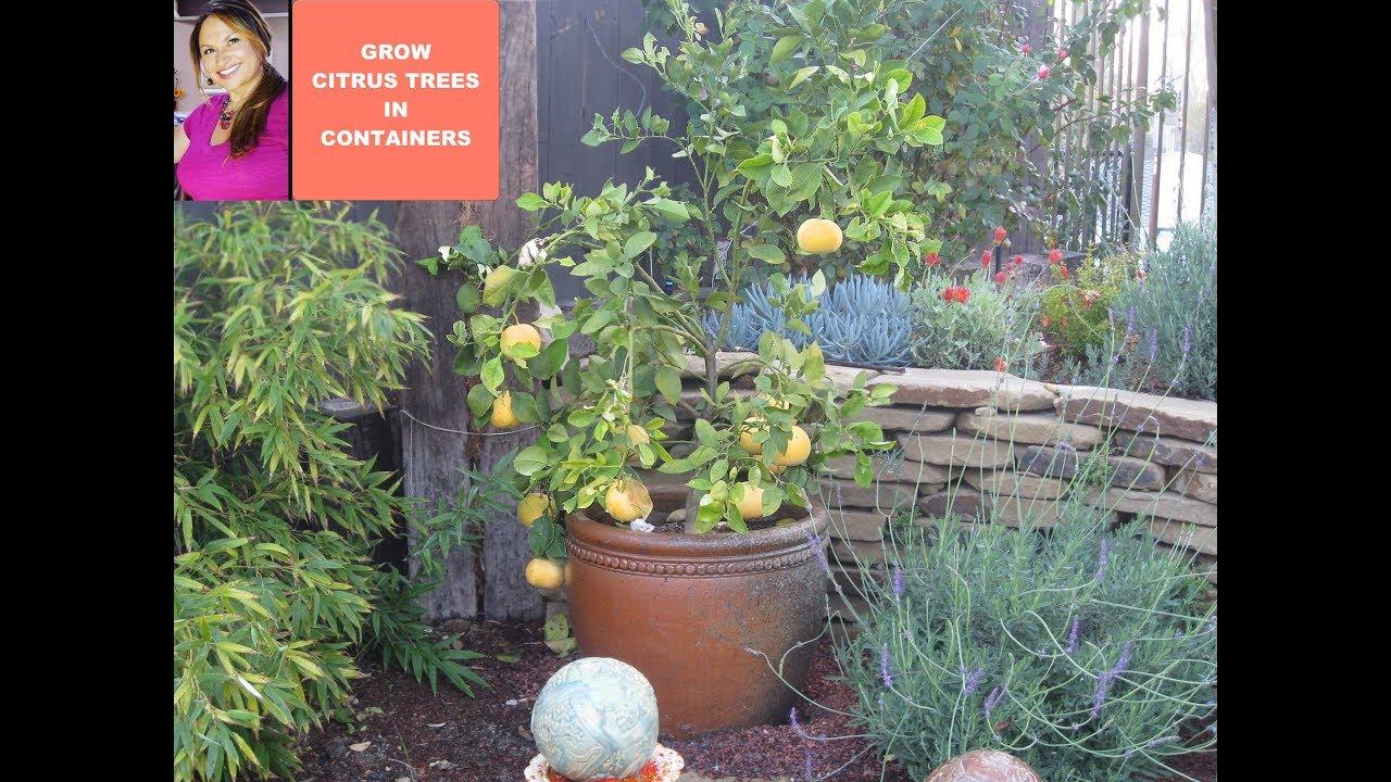 Dwarf Meyer Lemon Bush Perfect Tiny Gardens Eden Makers Blog By Shirley Bovshow