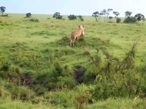 نسر يهاجم أسد ملك الغابة
