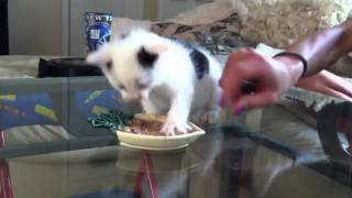 Hungry kitten protecting his food and getting mad