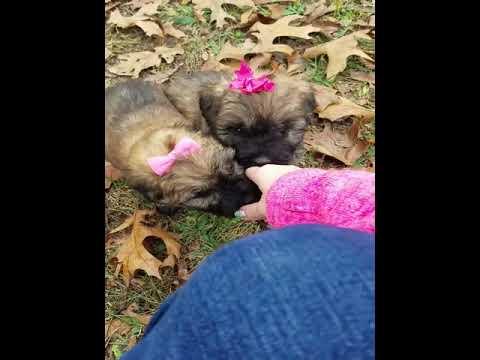 Bouvier Des Flandres Puppies So Cute!