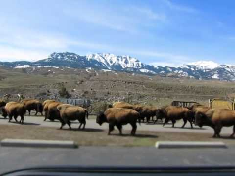 Buffalo running scared from Yellowstone Park