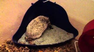 Potty trained Hedgehog