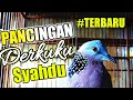 Pikat Tekukur Derkuku Langsung Nyaut  Mp3 - Mp4 Download