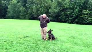 """Sable German Shepherd """"crixus"""" Obedience Protection Trained Dog For Sale"""