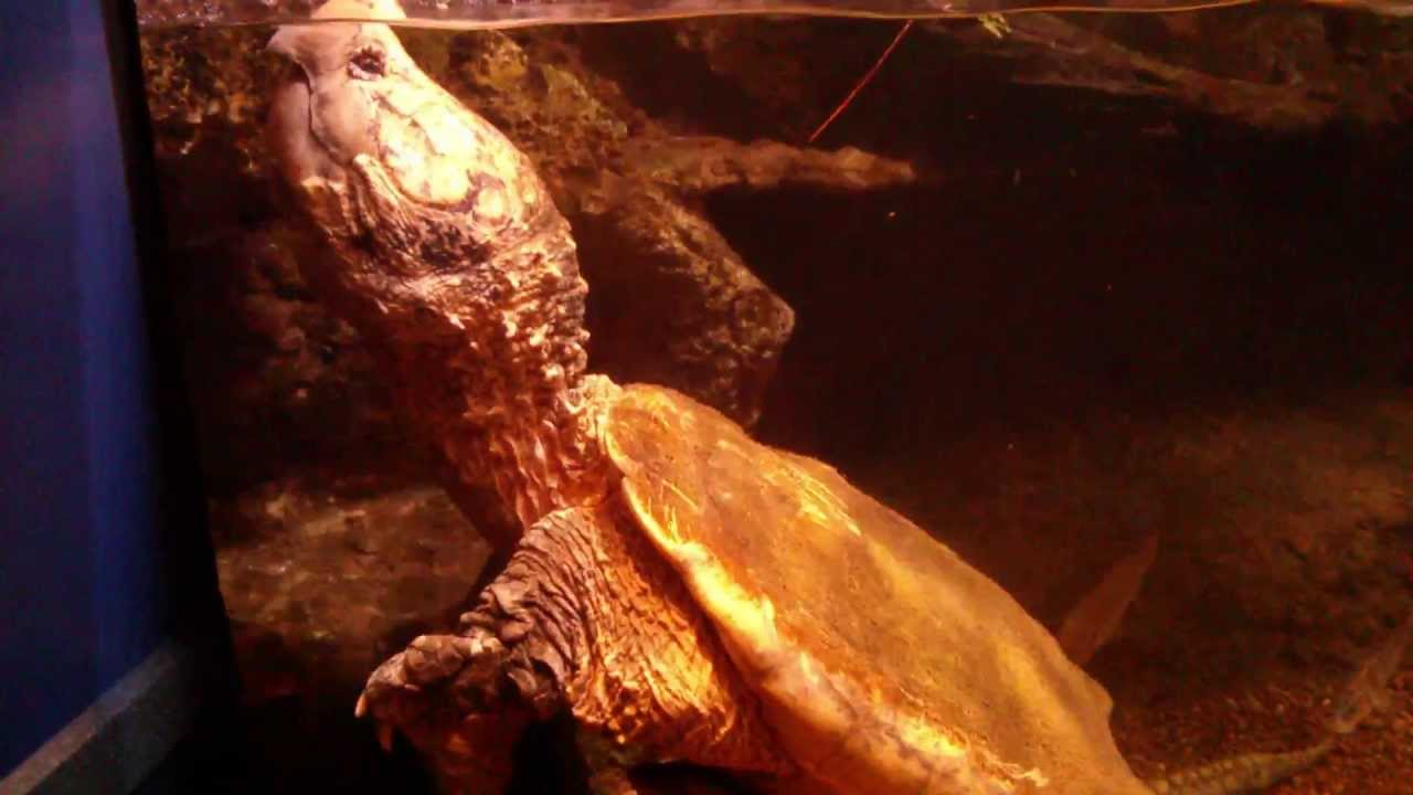 Alligator Snapping Turtle Thunder is a Newport Aquarium Mainstay