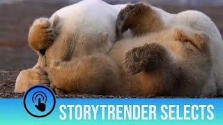 Playing polar bear cubs annoy their mum