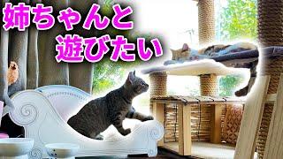 三毛猫のまりも姉さんと遊びたい保護猫みーちゃん