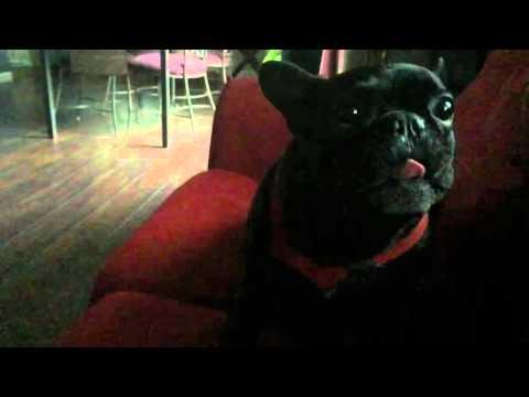 Spike the French Bulldog stupid Animal tricks