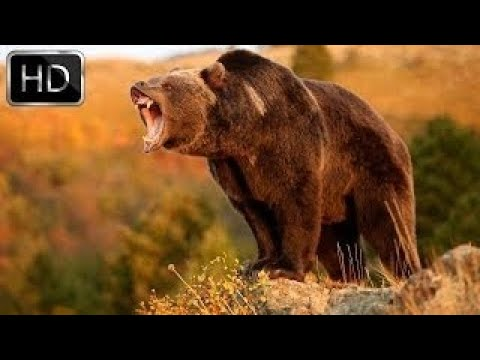 Two Predators Reign Supreme: Grizzly Bears and Wolves National Geographic