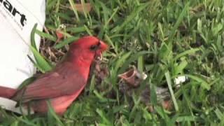 Cardinal feeding baby birds - Awesome!