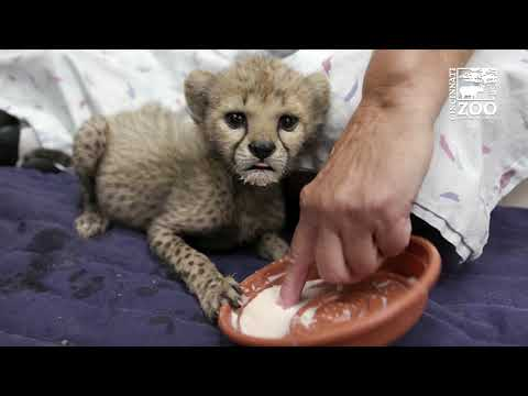 Cheetah Cub Kris Eating Solid Food and Full of Energy - Cincinnati Zoo
