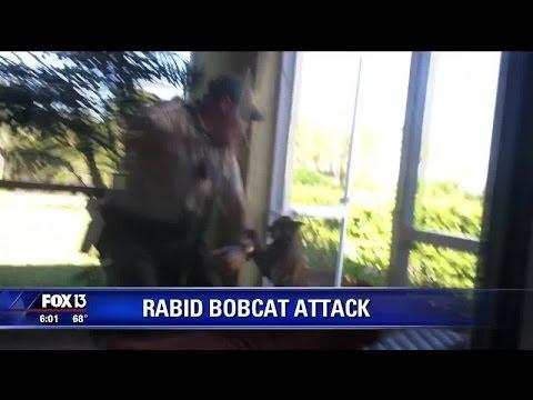 Rabies alert after Florida bobcat attacks
