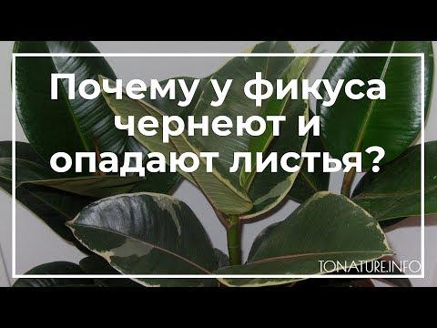 Почему у фикуса чернеют и опадают листья? | toNature.Info