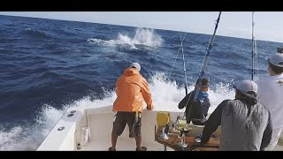 Biggest blue marlin ever caught by a 10 year old Danish boy? 500lbs+