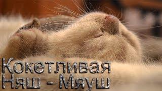 Котенок британский балуется, кусает за ухо и кокетничает на плече