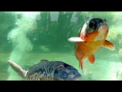 Preparaci n de estanques para peces doovi Estanques para cachamas