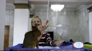Абиссинская порода(Международная выставка кошек март 2010 год г.Ростов-на-Дону