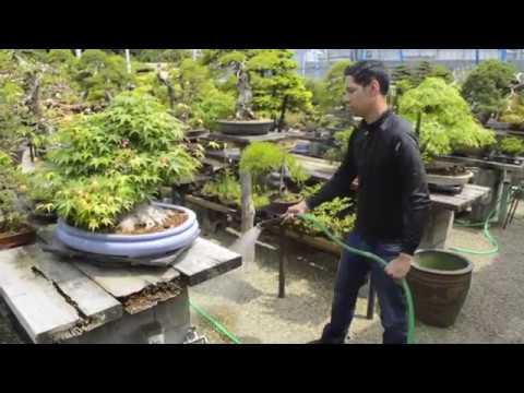 Watering Bonsai Trees Youtube