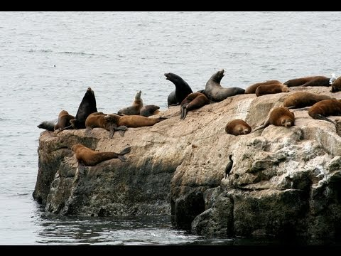 ♥♥ Relaxing 2  hour Video of  Sea Lions On Offshore Rocks