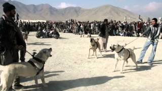 Central Asian Shepherd Dogs!!