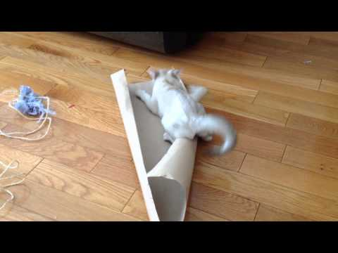 Burmilla kitten goes nuts on a cardboard tube
