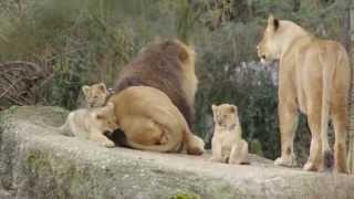岩の上に出てきたライオン一家 赤ちゃんはパパにじゃれて楽しそうだけれ...
