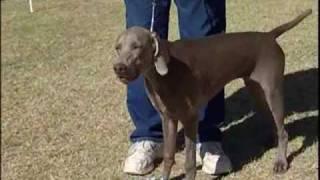 Weimaraner German Hunting Dog