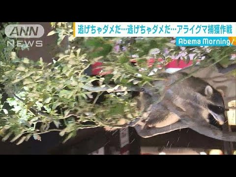 The Woody Show - Raccoon News! Raccoon in Tree Wows Tokyo Crowd