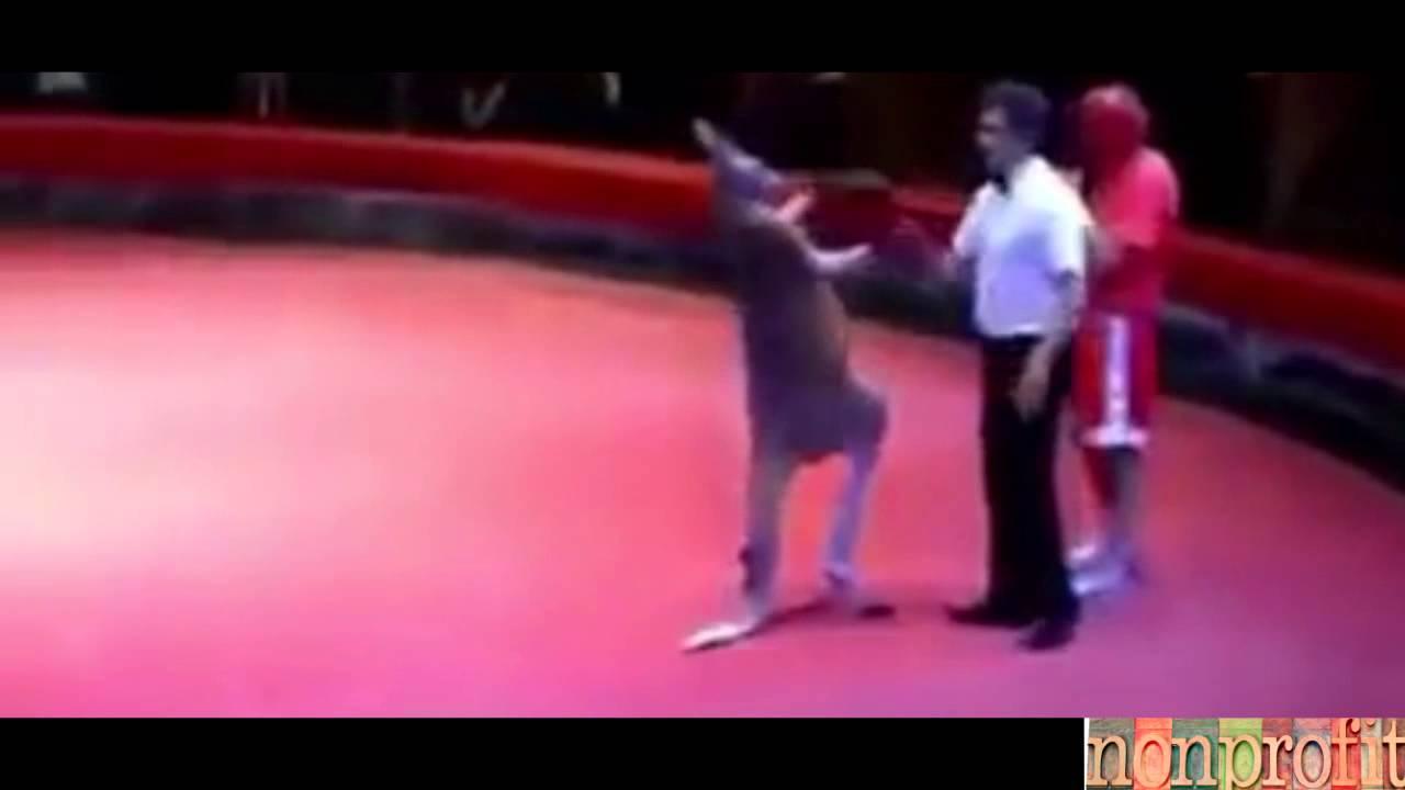 Animal mistreatment : Kickboxing  Kangaroo vs man