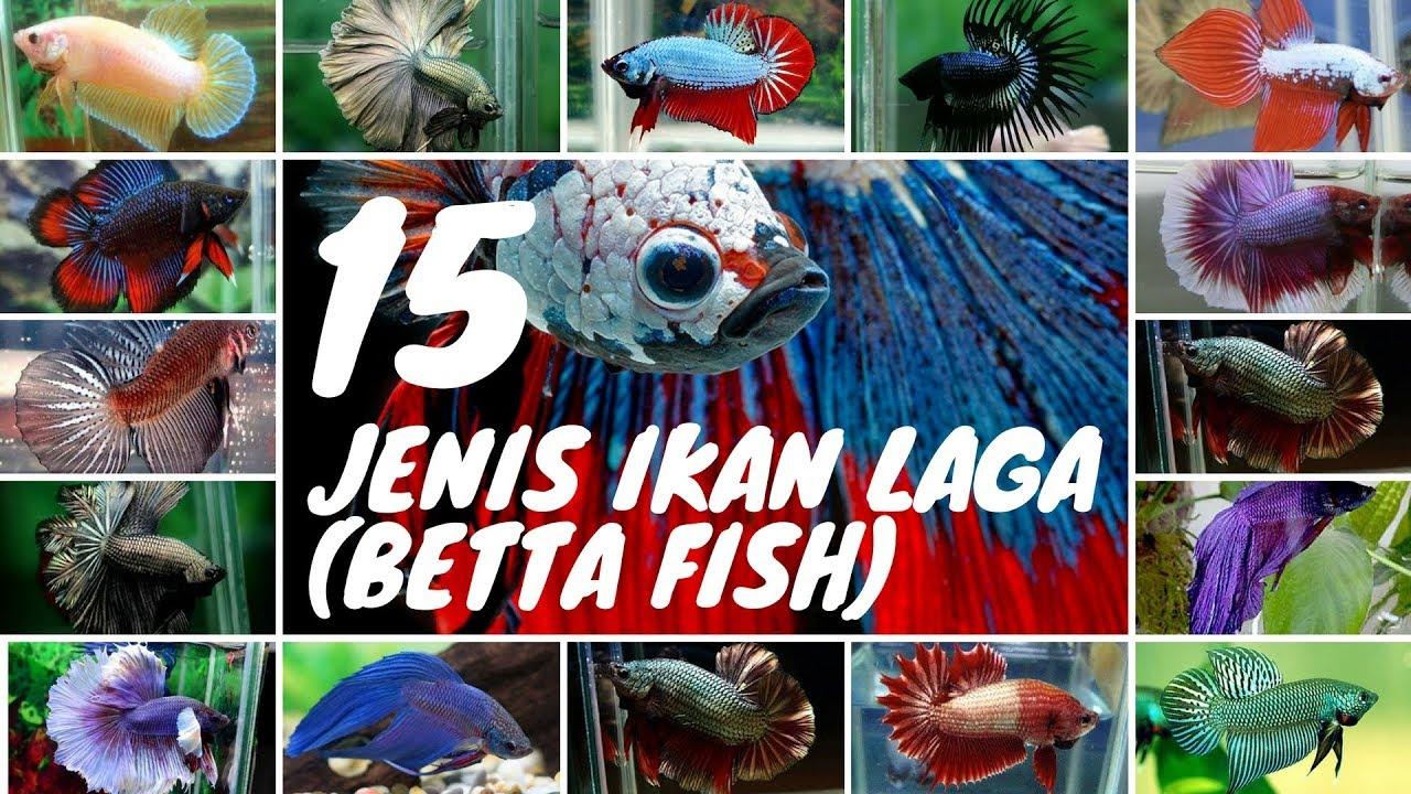 15 jenis Ikan Laga Betta popular - YouTube