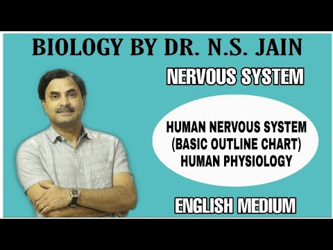 Human Nervous System Basic Outline Flow Chart Human Physiology