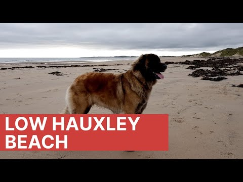 Leonberger dog / low hauxley beach Northumberland