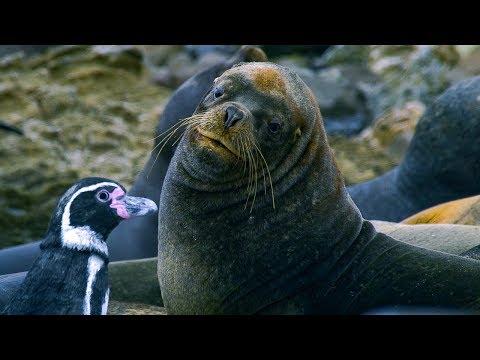 Humboldt Penguins Fight Off Fur Seals | BBC Earth