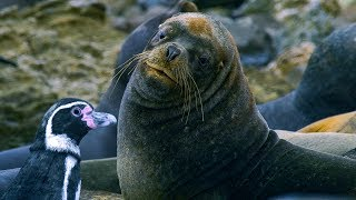 Humboldt Penguins Fight Off Fur Seals | BBC Earth
