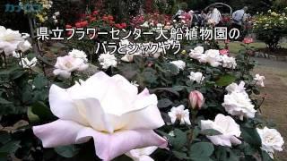 県立フラワーセンター大船植物園のバラとシャクヤク見ごろ