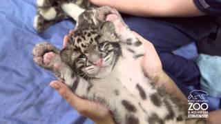 Comfy & Cute Clouded Leopard Cub thumbnail