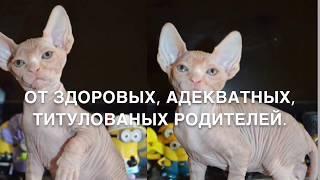 Продажа канадского сфинкса, сфинксы Харьков, продажа котят Харьков Украина, канадский сфинкс