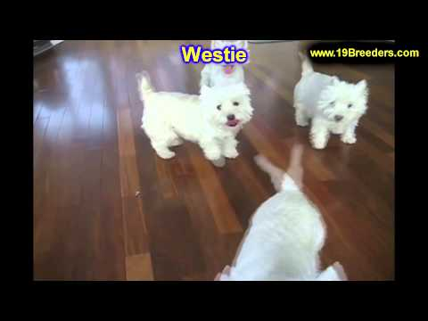 West Highland Terrier, Puppies, For, Sale, In, Columbia, Maryland, MD, Perry Hall, Pikesville, Colle