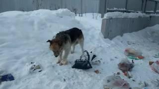 Бездомные собаки добывают себе пищу, Казань
