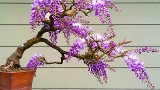 Blue Jacaranda (Jacaranda mimosifolia) or Wisteria Bonsai Tree ?