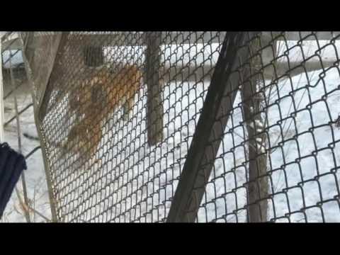 Harbin, China - Siberian Tiger Park - Tiger gets Live Chicken.avi