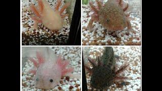 Aquarium von Axolotl säubern & neue Pflanzen
