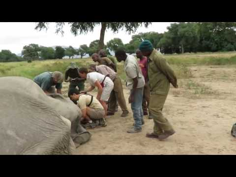 Zimbabwe:Dramatic video of elephant being saved after poachers shot him